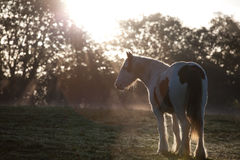 Young pony in early morning light. Stock Photo