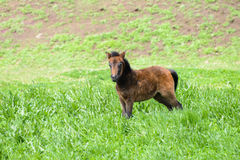 Young Pony in a green field Stock Photos