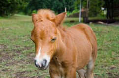 Young pony Royalty Free Stock Images