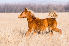 Young Pony Horse Running Free Royalty Free Stock Photos