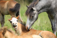 Young pony meeting scared foal Stock Photography