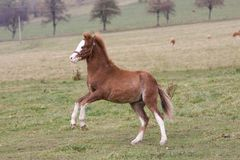 Young pony running on pasture Stock Photos