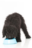 Young poodle dog Royalty Free Stock Image