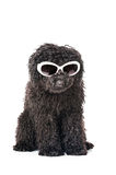 Young poodle dog Stock Images