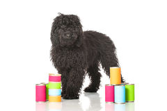 Young poodle dog Stock Image