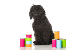Young poodle dog Royalty Free Stock Photography