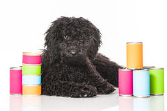 Young poodle dog Stock Photo