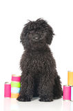 Young poodle dog Stock Photos