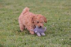 Young poodle dog in belgium royalty free stock images