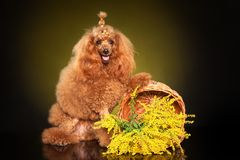 Young Poodle posing in studio. With yellow flowers on a dark background. Animal themes stock photography