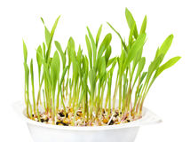 Young popcorn plants in white plastic tray over white. Seedlings from kernels in potting compost. Sprouts and leaves of maize, Zea mays, a variety of corn royalty free stock photo