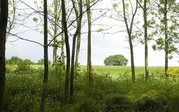 Young poplar forest in spring Stock Images