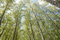 Young poplar forest Royalty Free Stock Photos