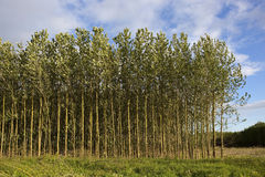 Young poplar trees in summer Stock Images