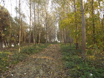 Young poplar trees Stock Image