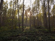Young poplar trees Royalty Free Stock Images