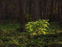 Young poplar trees Royalty Free Stock Photos