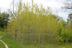 Young poplars in the grove Stock Image