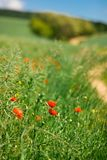 Young poppy flowers in the nature stock image