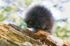 Young porcupine baby standing broadside Stock Photography
