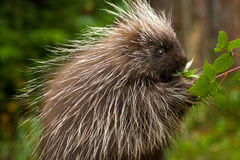 Young Porcupine Royalty Free Stock Images