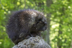 Young porcupine in springtime Stock Image