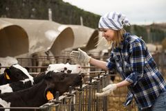 Young woman taking care of dairy herd in livestock farm Royalty Free Stock Image