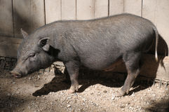 Young Pot-bellied pig Royalty Free Stock Images