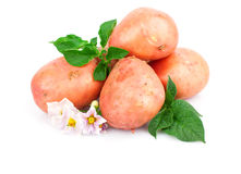Young potato Stock Image