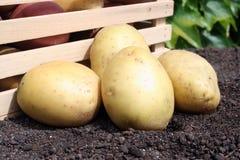 Young potato. On the soil Royalty Free Stock Photos
