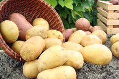 Young potato. On the soil Stock Images