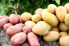 Young potato. On the soil Royalty Free Stock Images