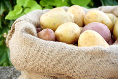 Young potato. On the soil Royalty Free Stock Photography