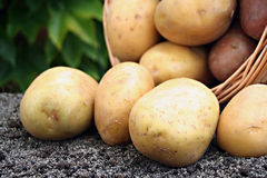 Young potato. On the soil Royalty Free Stock Image