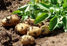 Young potato. On the soil Stock Photos