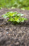 Young potato plant Stock Photos