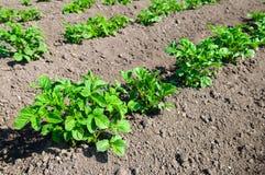 Young potato plants. Potato field with young potato plants stock photography