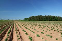 Young potato plants. On a field Stock Photo