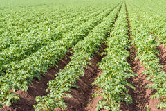 Young potato plants in converging ridges Stock Photo