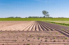 Young potato plants and a Dutch dike Royalty Free Stock Image