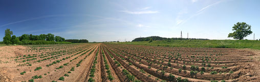 Young potato plants on field. Panorama Stock Image
