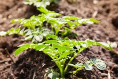 Young potato plants growing on the soil in rows. royalty free stock photography