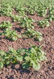 Young potato plants in sunlight Royalty Free Stock Image
