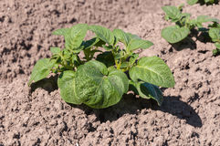 Young potato plants in sunlight Stock Images