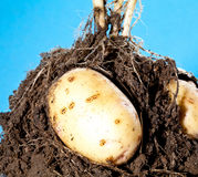Young potato tubers in soil Royalty Free Stock Images