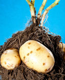 Young potato tubers in soil Royalty Free Stock Photo
