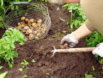 Young potatoes 2 Stock Image