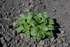 Young potatoes. Growing in garden Royalty Free Stock Images