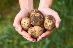 Young potatoes rests in the hands of the girl that just got her from the garden. The concept of rural life and organic food Royalty Free Stock Image