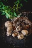 Young potatoes with soil Royalty Free Stock Photos